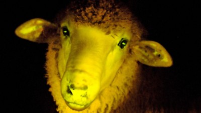 Glow-in-the-dark Sheep